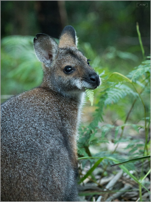 Australie Wallaby