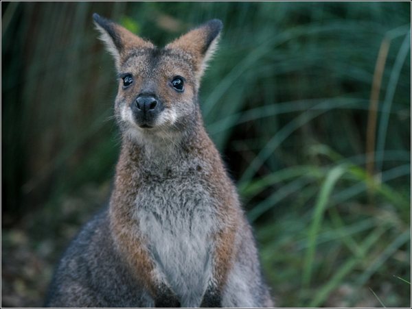 Australie Wallaby sauvage